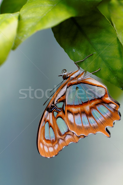 Stock photo: Red lacewing butterfly (lat. Cethosia biblis)
