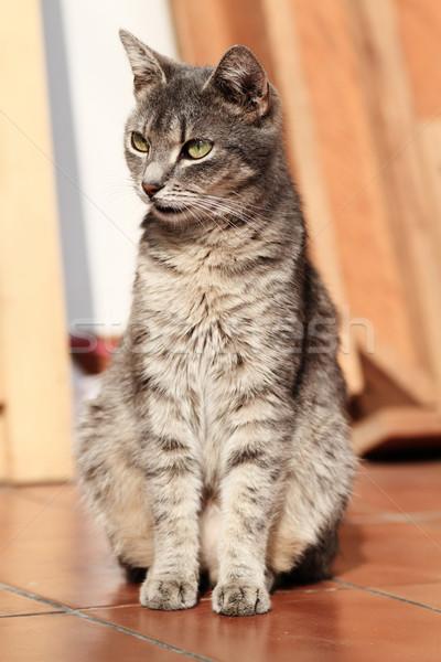 Gatto grigio terra occhi cat capelli giovani Foto d'archivio © Nneirda