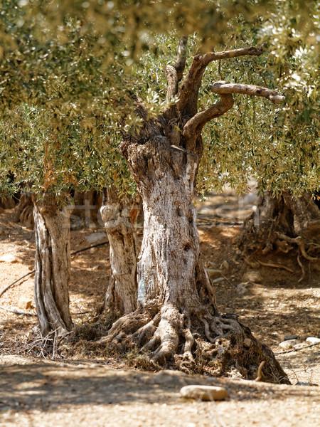 Paisaje de oliva arboleda gigante petróleo árbol Foto stock © Nneirda