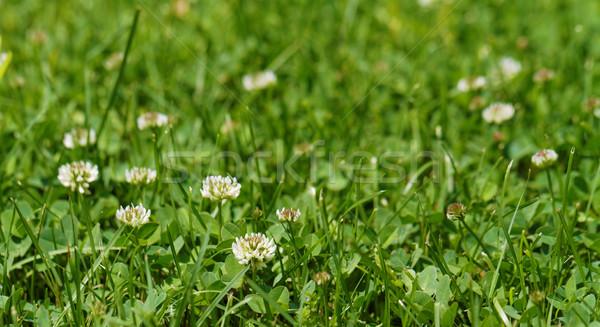 Alfalfa Stock photo © Nneirda