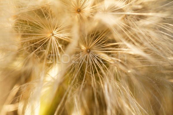 Stock fotó: Pitypang · magok · fúj · messze · szél · virág