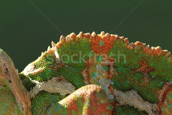 Chameleon powrót Fotografia tle funny Zdjęcia stock © Nneirda
