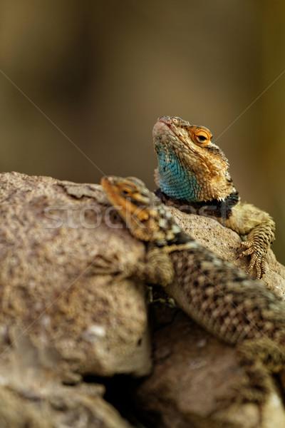 Desert spiny lizards Stock photo © Nneirda