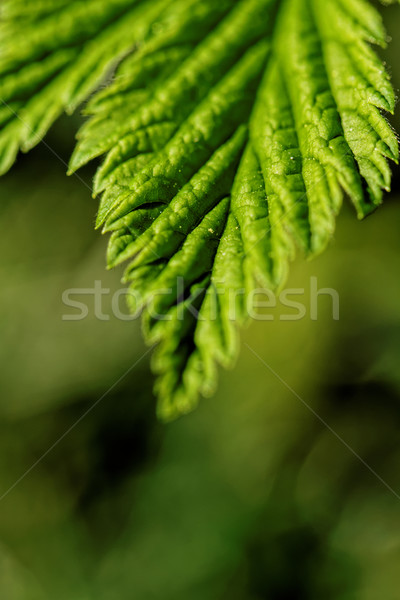 Haarig Blätter Foto grünen Blatt Stock foto © Nneirda