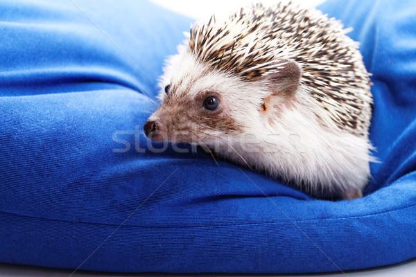 Cute egel foto Blauw ogen lichaam Stockfoto © Nneirda