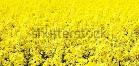 Colourful field Stock photo © Nneirda