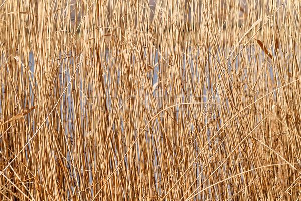 Brown reeds Stock photo © Nneirda