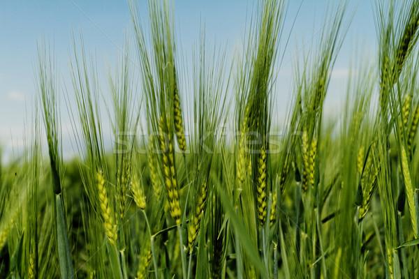 Verde grano grano campo primavera nube Foto d'archivio © Nneirda