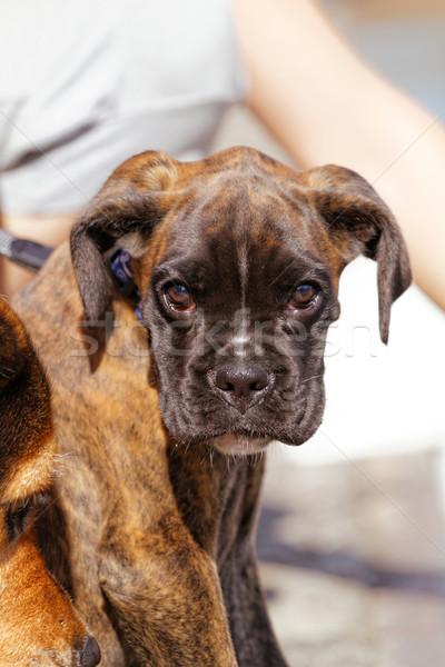 Boxoló kutya fotó aranyos barna fű Stock fotó © Nneirda