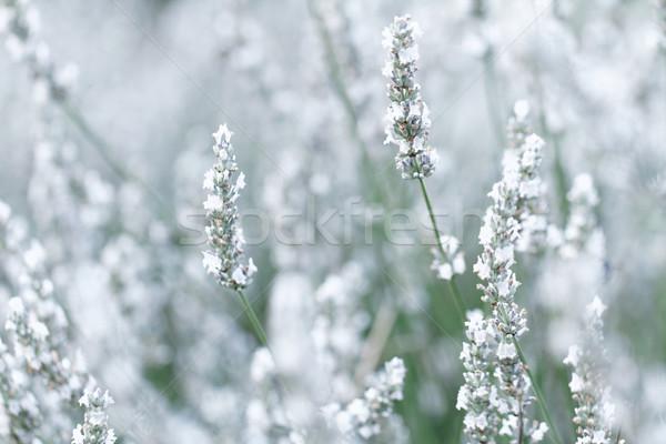 Photo stock: Blanche · lavande · fleurs · printemps · domaine · fond