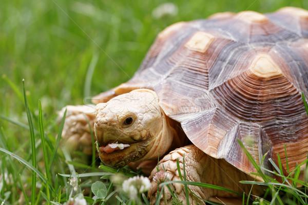 Afrikaanse schildpad cute schildpad kruipen groen gras Stockfoto © Nneirda