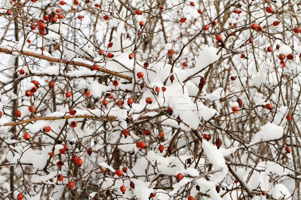 Red rosehip Stock photo © Nneirda