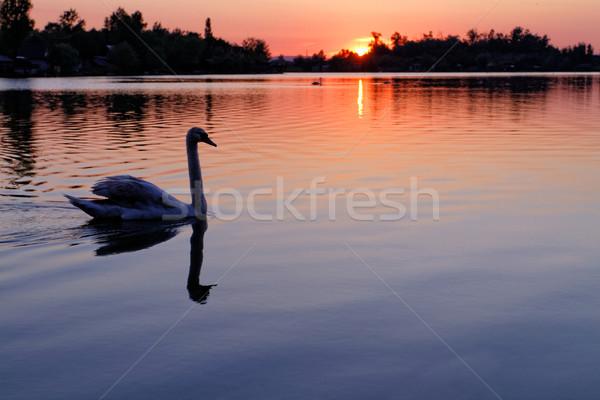 Magányos hattyú gyönyörű naplemente tó nap Stock fotó © Nneirda