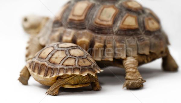 два африканских черепаха изолированный белый природы Сток-фото © Nneirda