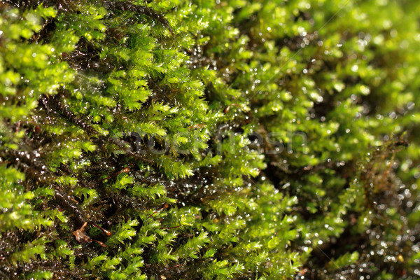 Fresche muschio macro verde natura acqua Foto d'archivio © Nneirda
