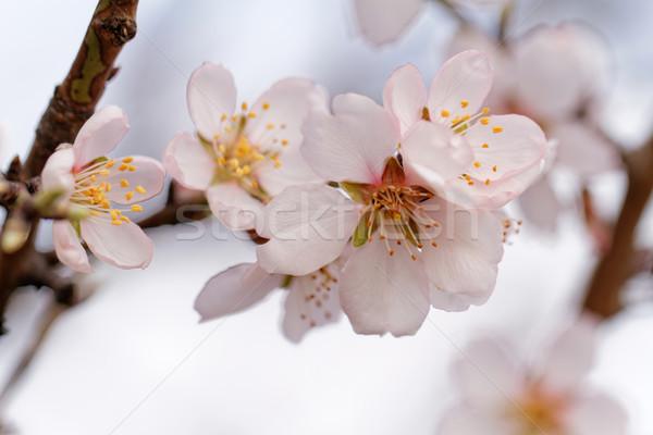 дерево цветения фото красивой весны небе Сток-фото © Nneirda