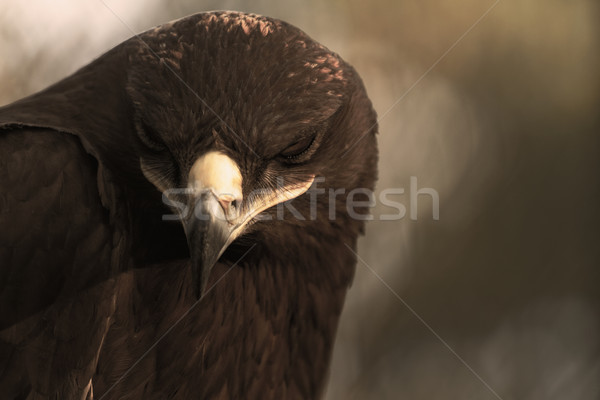 Sas madár zsákmány természet szabadság citromsárga Stock fotó © Nneirda