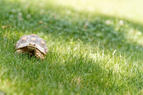Little turtle Stock photo © Nneirda
