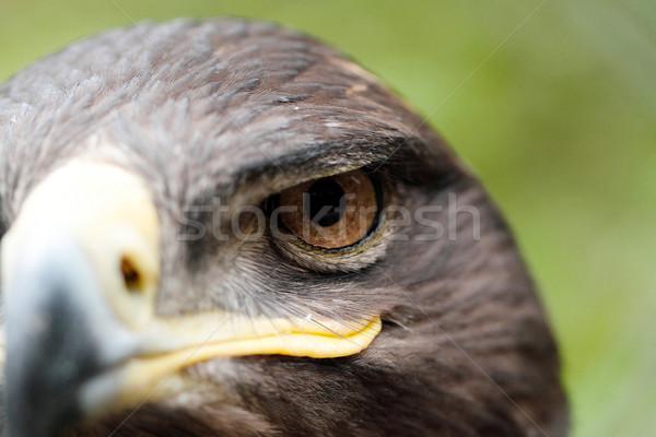 Sas madár zsákmány toll fej citromsárga Stock fotó © Nneirda