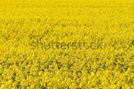 Colza field Stock photo © Nneirda