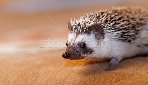 African white- bellied hedgehog Stock photo © Nneirda