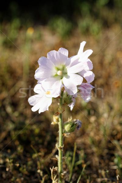 Witte bloem mooie foto landelijk bloem voorjaar Stockfoto © Nneirda