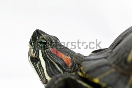 Trachemys scripta elegans Stock photo © Nneirda