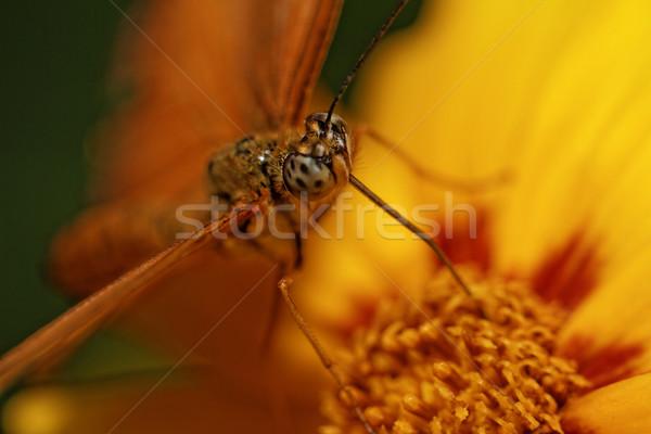 Orange butterfly Stock photo © Nneirda