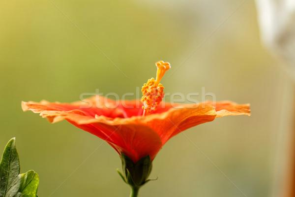 Hibiszkusz fotó gyönyörű narancs tavasz virág Stock fotó © Nneirda