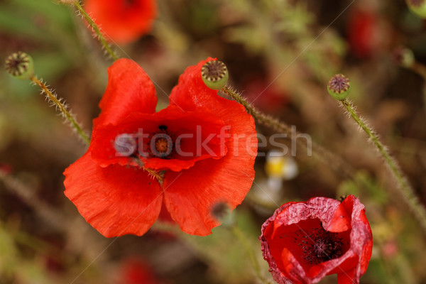 Red poppies Stock photo © Nneirda