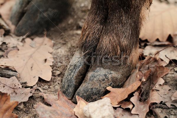 Deer hoof Stock photo © Nneirda
