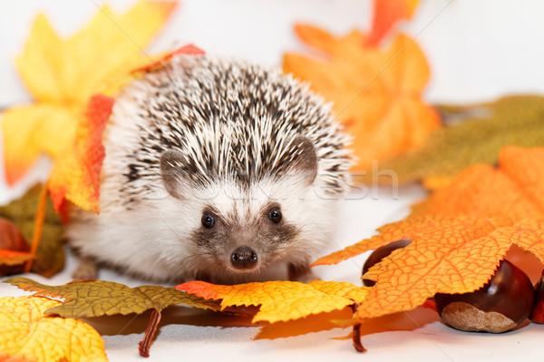 African white- bellied hedgehog Stock photo © Nneirda
