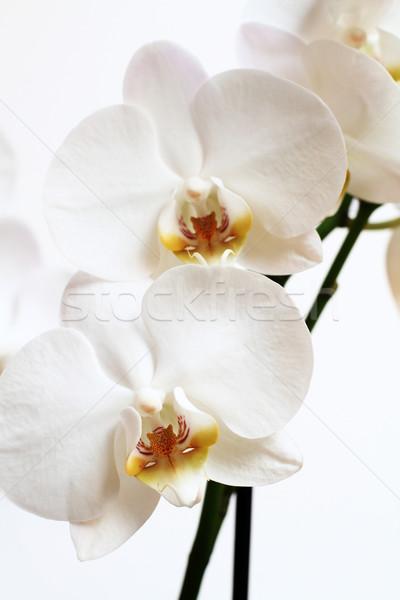 Phalaenopsis flower Stock photo © Nneirda