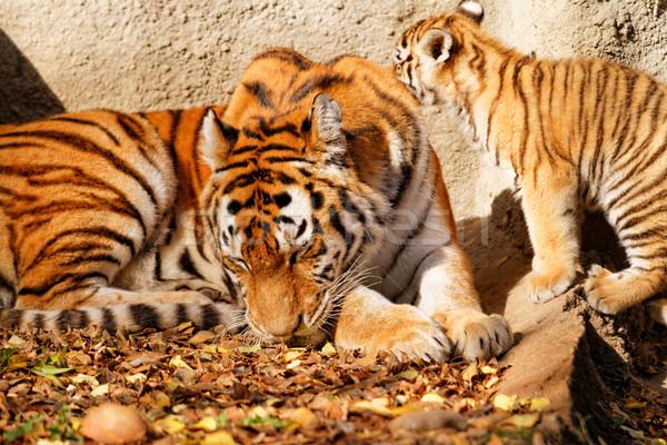 Tijger mamma dierentuin welp zonnige foto Stockfoto © Nneirda