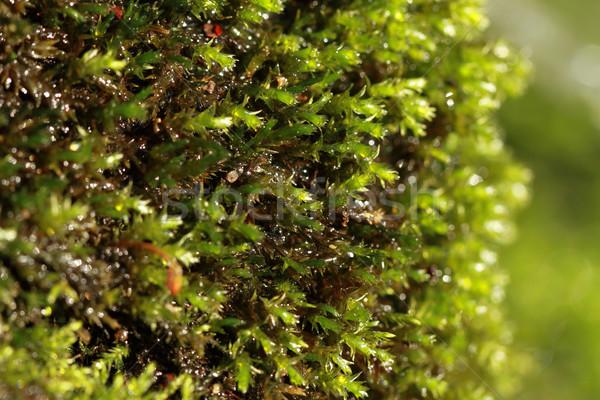 Fresh moss macro  Stock photo © Nneirda