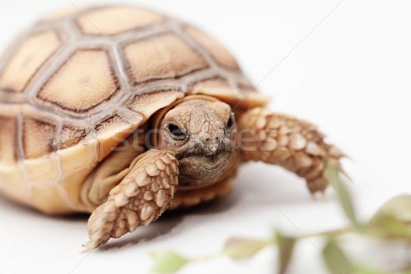 африканских черепаха изолированный белый природы животного Сток-фото © Nneirda