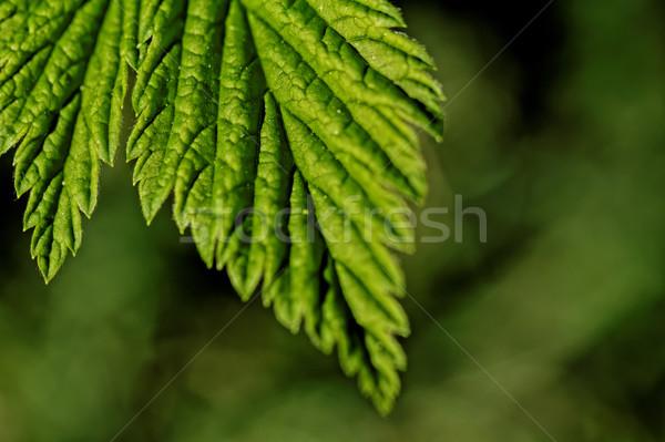 Behaard bladeren foto groene blad Stockfoto © Nneirda