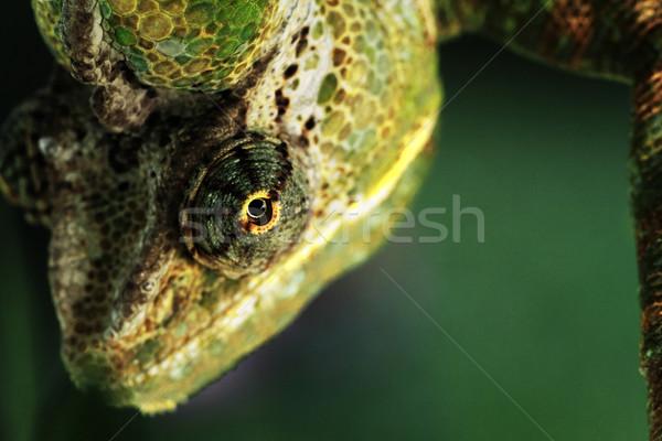 Chamaeleo calyptratus Stock photo © Nneirda