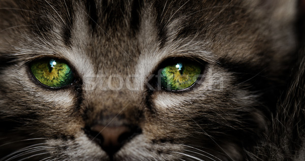 Tabby kitten Stock photo © Nneirda