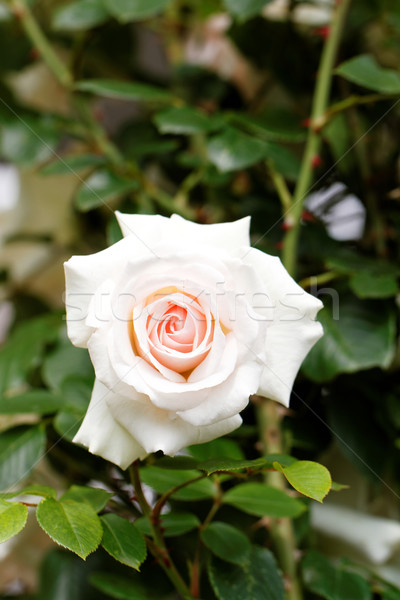Bright pink rose blooming in garden Stock photo © Nneirda