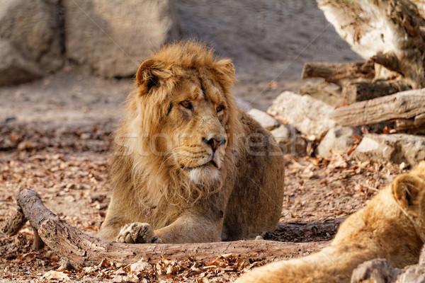 Lion king Stock photo © Nneirda