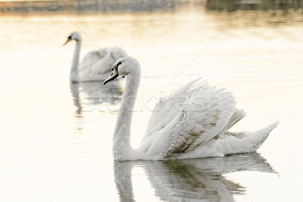 Solitário cisne belo pôr do sol lago amarelo Foto stock © Nneirda