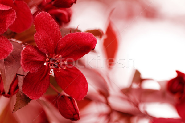Red flower Stock photo © Nneirda
