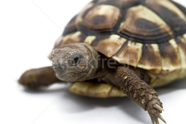 Young turtle on a white background Stock photo © Nneirda