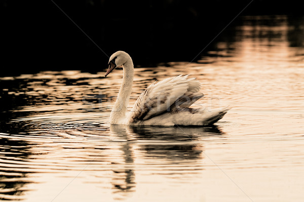 孤独 白鳥 美しい 日没 湖 黄色 ストックフォト © Nneirda