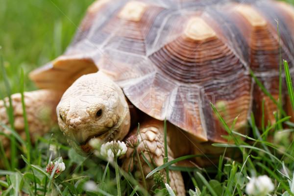 Foto stock: Africano · tartaruga · bonitinho · tartaruga · grama · verde