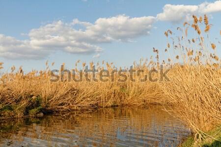 Reeds at the lake Stock photo © Nneirda