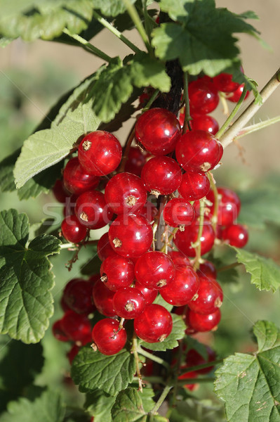 Red currant Stock photo © Nneirda