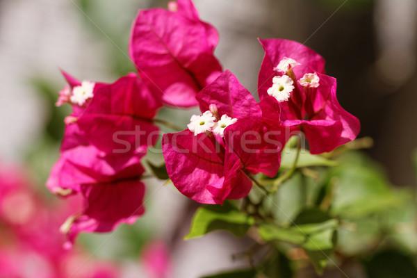 Bougainvillea Stock photo © Nneirda