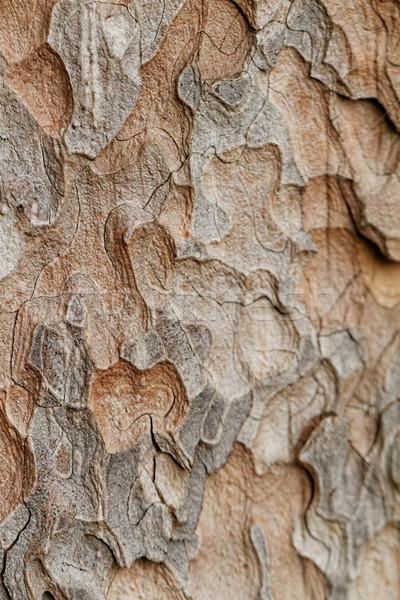 Textura macro pino primer plano vista Foto stock © Nneirda